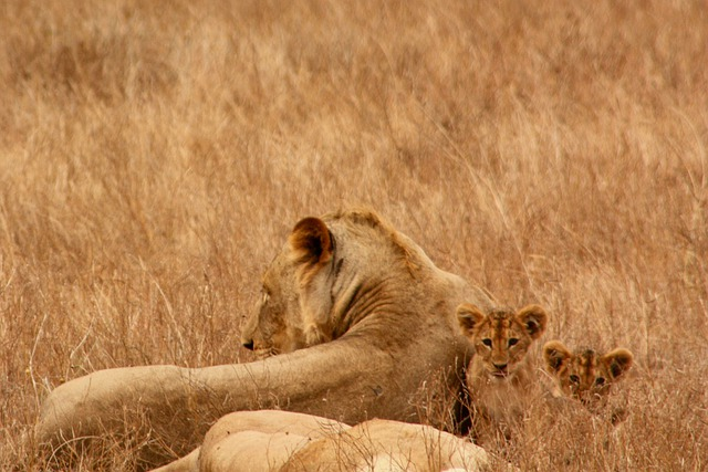 Lion, Baby, Animal, Family, Wild, Mammal, Safari