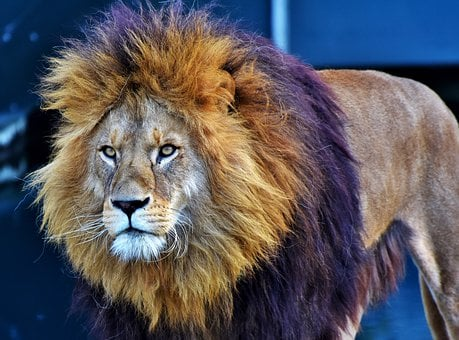 Lion, Cat, Predator, Big Cat, Lion's Mane, Mane, Wild