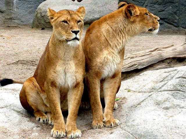 Lioness, Lion Females, Lion, Big Cat, Wildcat, Cat