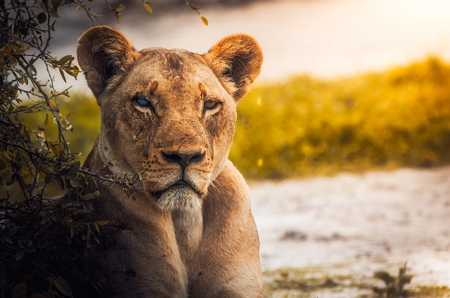 Lion, Lioness, Female, Wildlife, Animal, Botswana