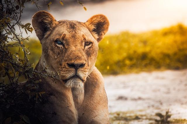 Lion, Lioness, Female, Wildlife, Animal, Botswana
