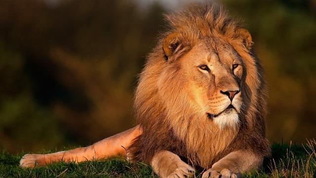 Lion, Lion King, Forest King Lion, Brown Forest