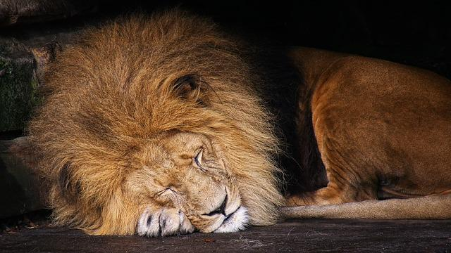 Lion, Animal, King Of The Beasts, Wild Animals, Cat