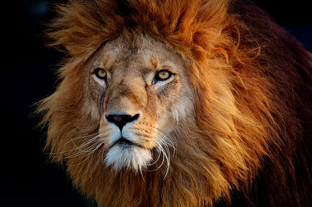 Mammals, Portrait, Cat, Nature, Lion, The Mane, Animals