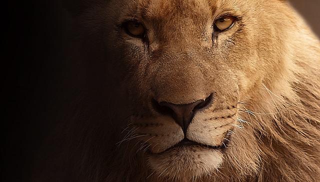Lion, Portrait, Animal Portrait, Face, Wild Animal