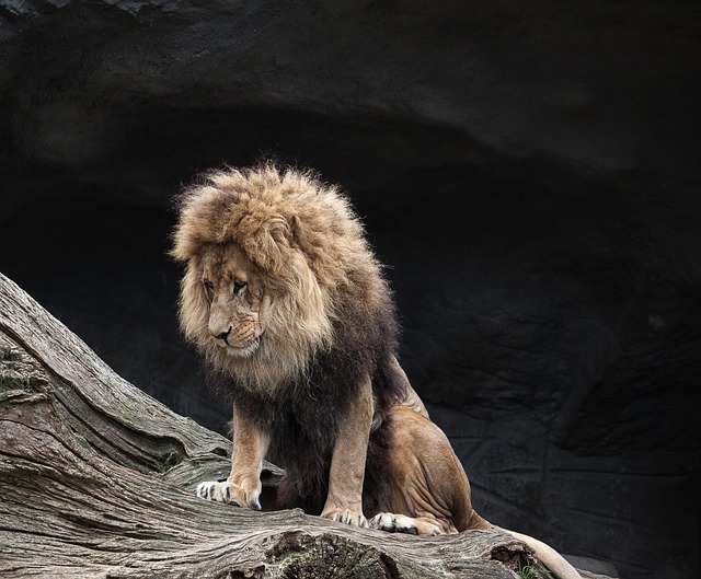 Lion, Predator, Male, Wild Animal, Zoo