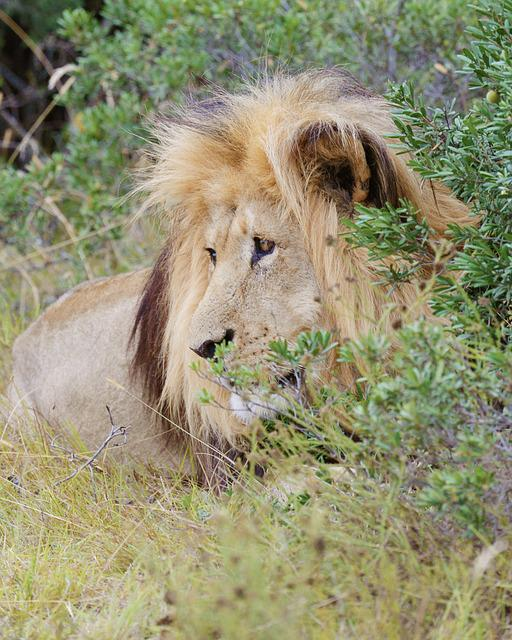 Lion, South Africa, Addo National Park