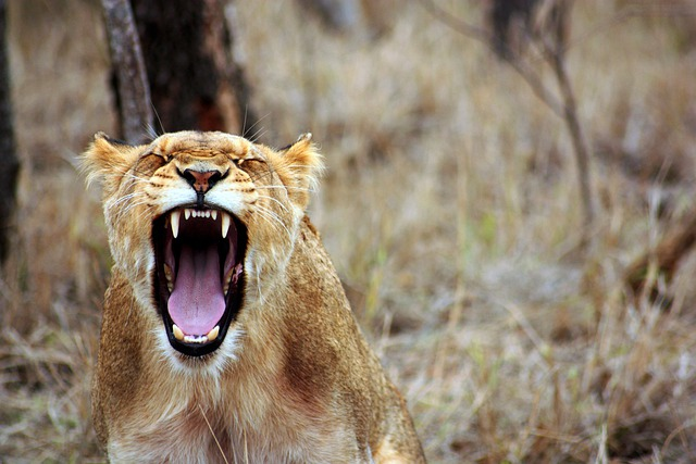 Lion, Animal, Savannah, Lioness, Safari, Wild, Nature