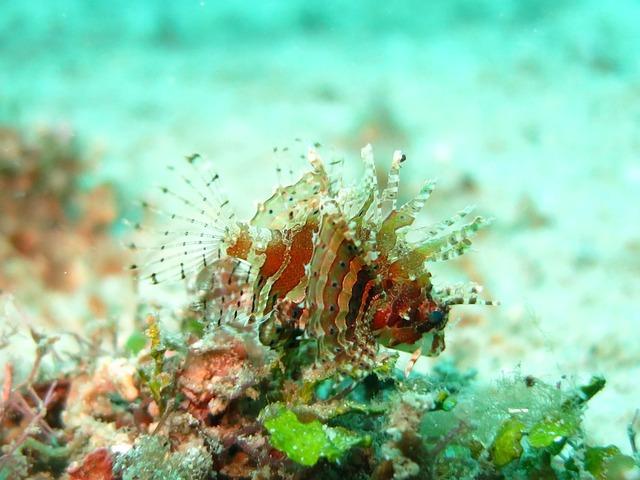 Lionfish, Juvenile, Macro, Underwater, Fish, Ocean