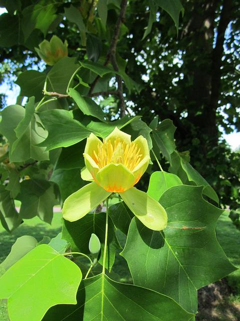 Liriodendron Tulipifera, Tulip Tree
