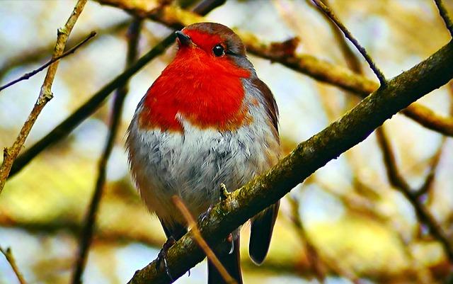 Redbreast, Common, Spevavý, Little Bird, Outdoors