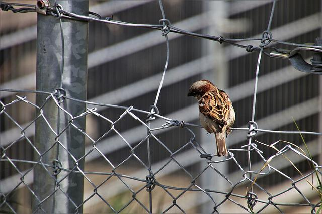 Little Bird, The Sparrow, Urban Bird, Wings, Gray, Wire