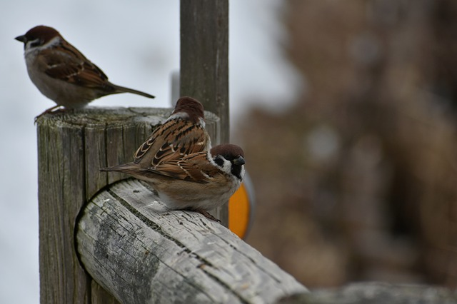 Animal, Wood, Bird, Wild Birds, Little Bird, Sparrow