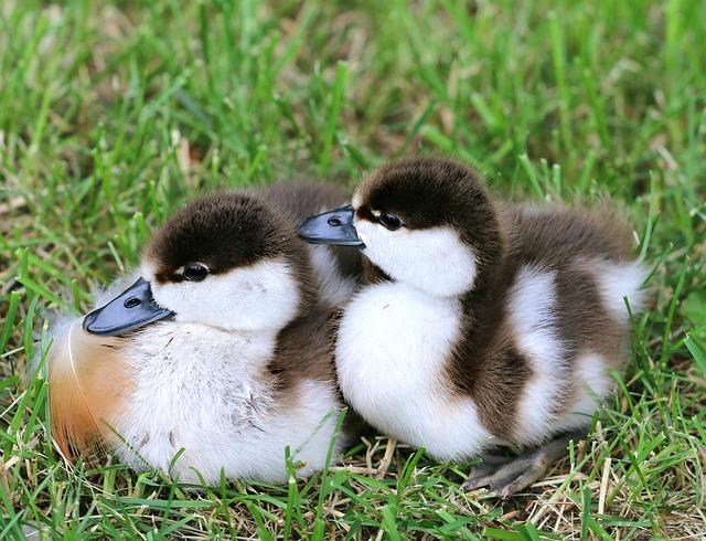 Ducklings, Little, Kids, Brothers, Sisters, Birds