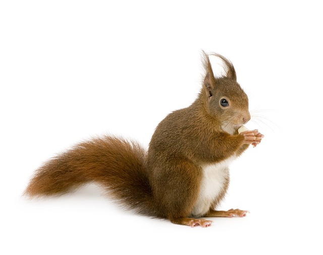 Rodent, Cute, Downy, Squirrel, Little