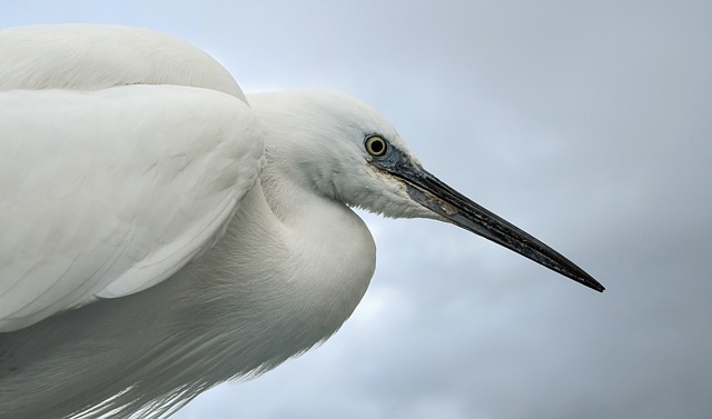 Little Egret, Wader, Bird, White, Fauna, Portrait