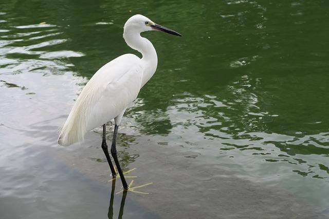 White Heron, Little Egret, Bird, Seaside