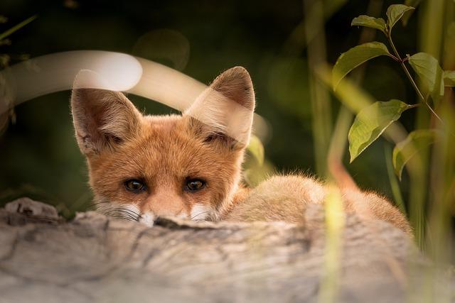 Little Fox, Animals, Nature