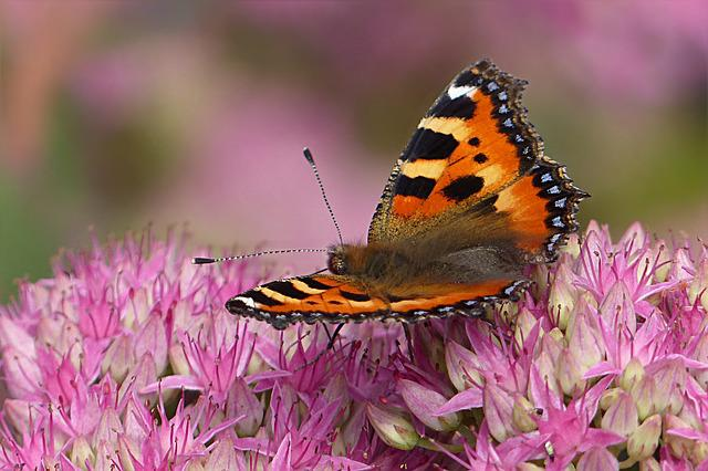Animal, Insect, Butterfly, Little Fox, Aglais Urticae