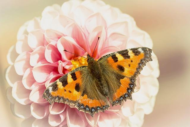 Butterfly, Little Fox, Nymphalis Urticae, Butterflies