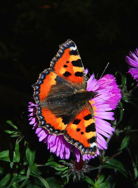 Butterfly, Little Fox, Butterflies, Edelfalter