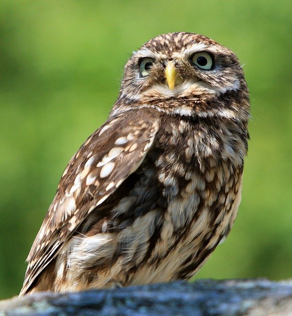 Owl, Bird, Animal, Nature, Little Owl, Beautiful