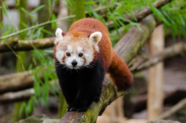 Red Panda, Little Panda, Cute, Bamboo, Mammal