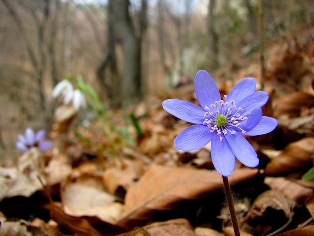 Flower, Liverwort, Daisy, Flowers, Spring, Forest