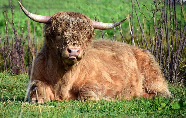 Beef, Bull, Pasture, Agriculture, Cattle, Livestock