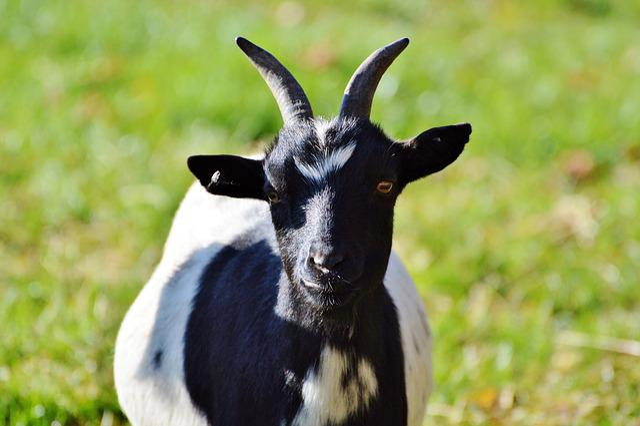 Dwarf Goat, Goat, Domestic Goat, Livestock, Kid, Cute