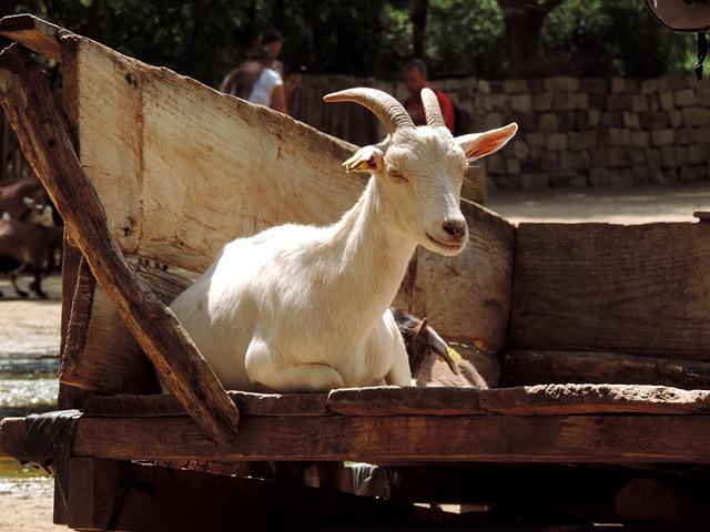 Goat, Domestic Goat, Billy Goat, Animal, Livestock