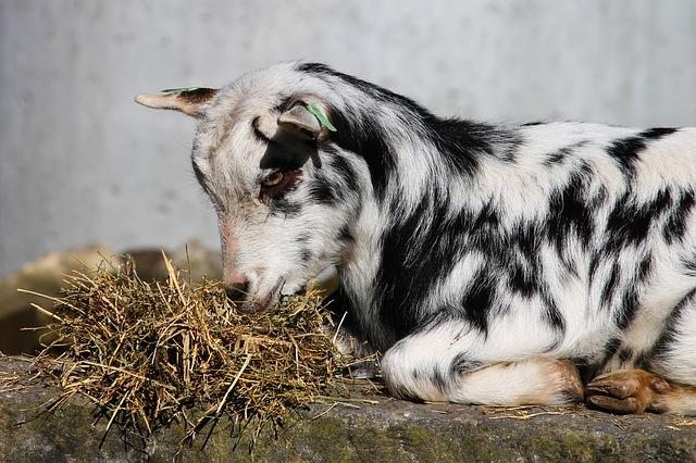 Goat, Domestic Goat, Young, Kid, Farm, Livestock, Fur