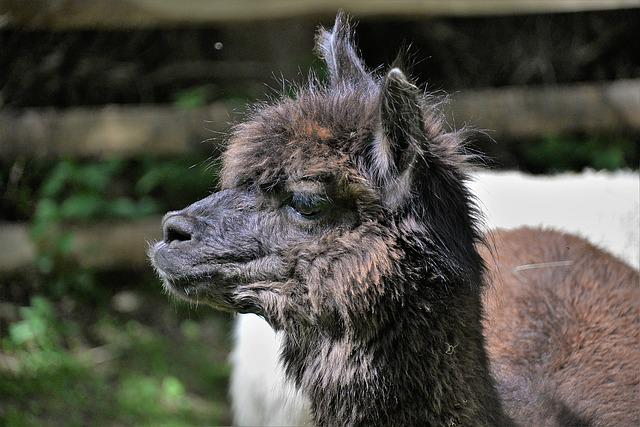 Alpaca, Head, Close, Animal Portrait, Livestock