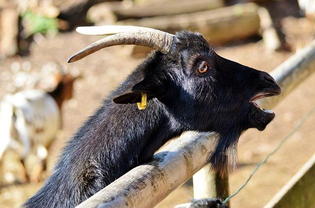 Goat, Livestock, Billy Goat, Domestic Goat, Horns