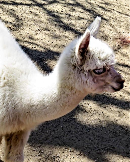 Alpaca, White Alpaca, Young Animal, Mammal, Livestock