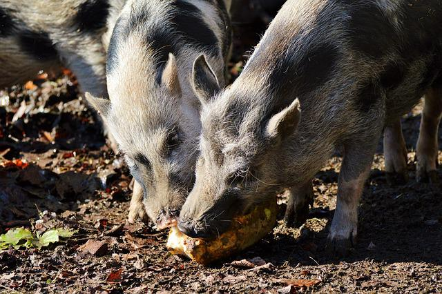 Pot Bellied Pig, Pig, Sow, Livestock, Dirty, Mammal