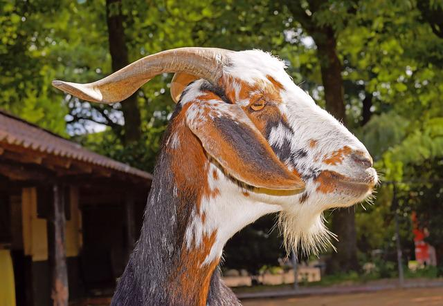 Billy Goat, Livestock, Goatee, Nature, Horns