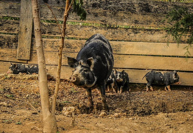 Pigs, Sow, Piglets, Pigsty, Mammal, Domestic, Livestock