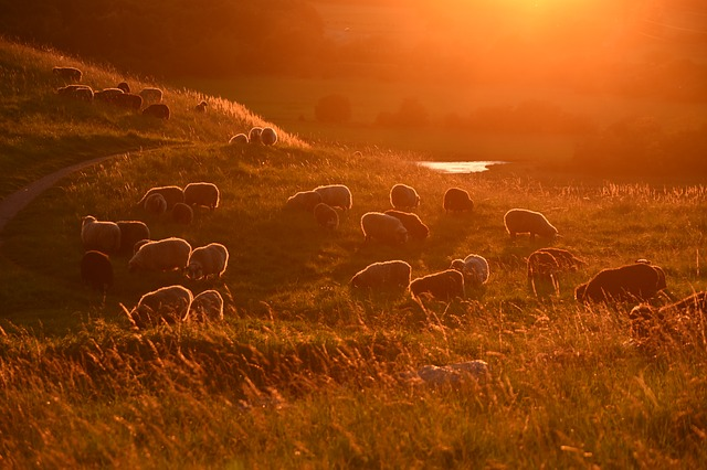 Sunset, Sheep, Livestock, Landscape, Scenic, Hill, Wool