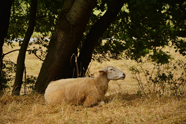 Sheep, Pasture, Livestock, Wool, Lying, Agriculture