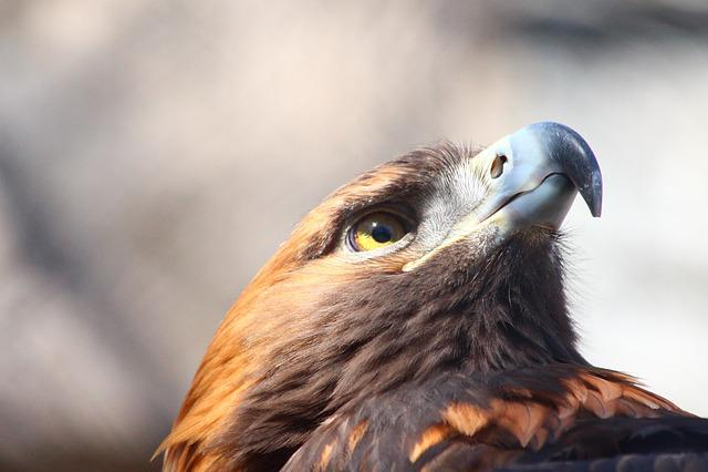 Golden Eagle, Aquila Chrysaetos, Living Nature, Bird