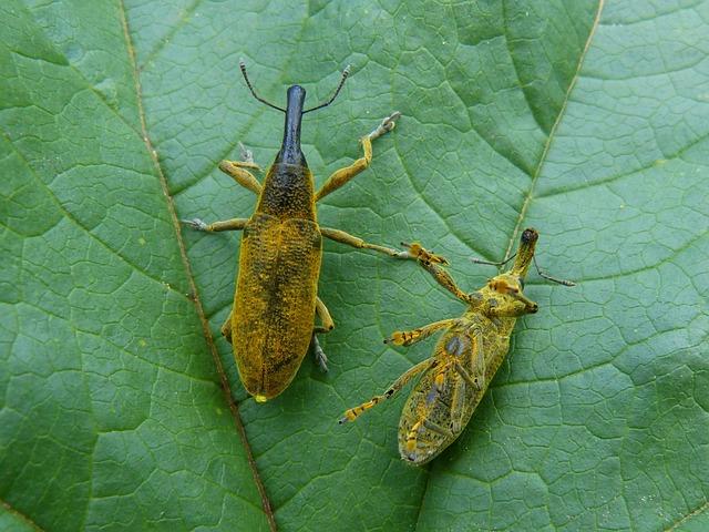 Lixus Angustatus, Lixus, Beetle Mallows, Weevil, Morrut