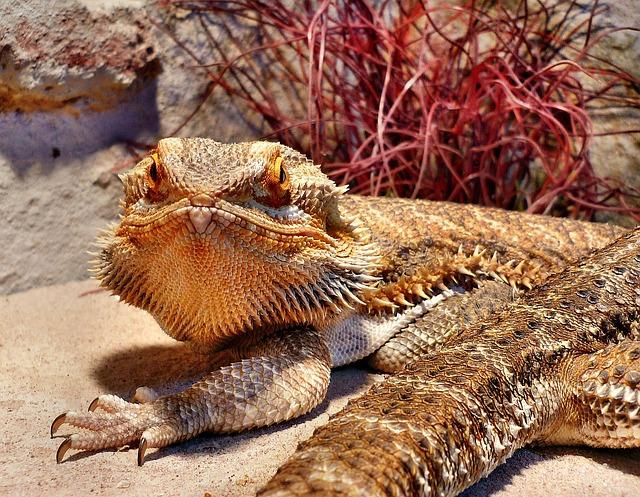 Reptile, Bearded Dragon, Creature, Lizard, Agame