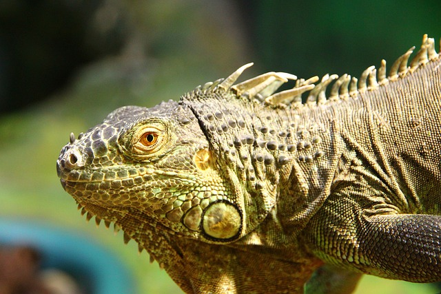 Iguana, Iguana Iguana, Lizard, Reptile, Animal, Nature