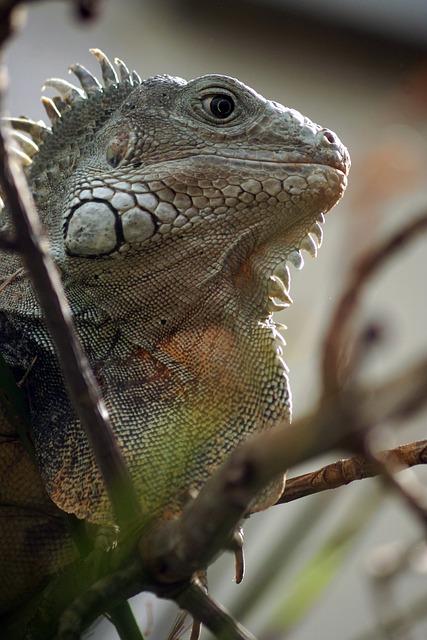 Lizard, Reptile, Animal, Nature, Flying Dragon, Species