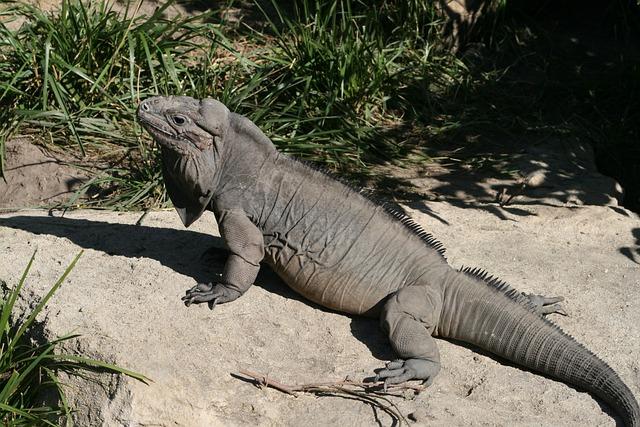 Nature, Wildlife, Reptile, Animal, Lizard, Outdoors
