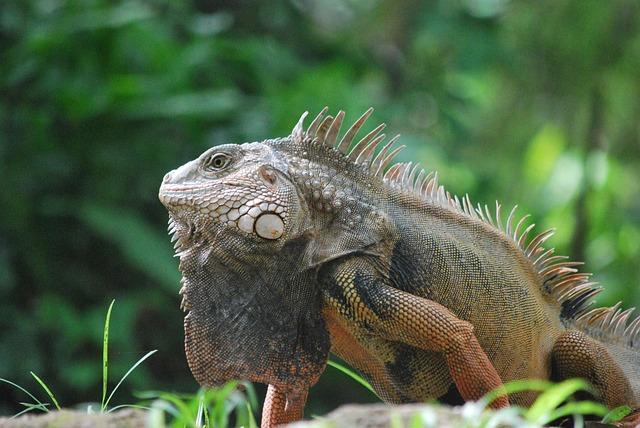 Animal, Iguana, Nature, Reptile, Animals, Green, Lizard