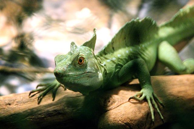 Common Basilisk, Lizard, Basilisk