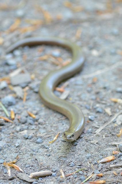 Slow Worm, Creep, Lizard, Reptile, Crawl