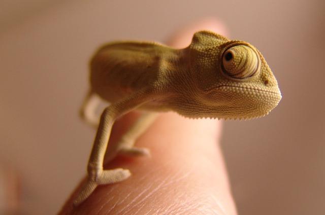 Chameleon, Yemen Chameleon, Reptile, Green, Lizard